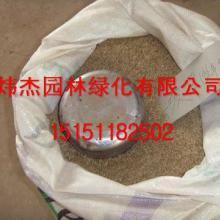 供应黑麦草多年生种子价格.江苏黑麦草多年生种子价格.黑麦草种子图片