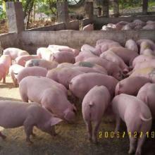 供应苏柯菲得养殖场除臭气用产品/鸡、猪舍除臭专用菌剂/动物畜舍除臭气