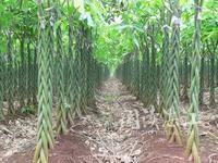 供应海南海口供应发财树