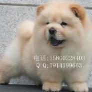 东莞哪里有纯种松狮犬出售纯种松狮图片