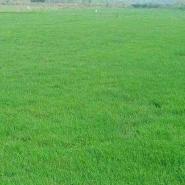 百慕大黑麦草混播草坪图片