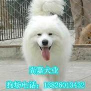 广州萨摩犬哪里可以买纯种萨摩耶图片