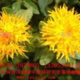 供应红花种子