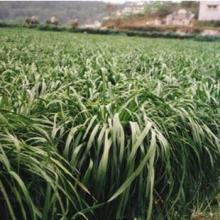 供应黑麦草坪种子价格,黑麦草籽种子批发,黑麦草种子供应商批发