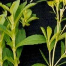 供应保健茶系列产品