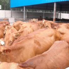 供应黄牛养殖黄牛价格鲁西黄牛的价格山东鲁西黄牛河南鲁西黄牛价格批发