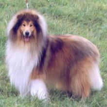 供应苏格兰牧羊犬