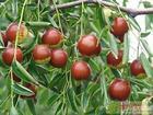 供应山东最好的【果树苗】厂家枣树苗枣树品种骏枣苗冬枣苗等等