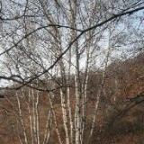 """供应家具造纸等用途""""白桦树""""河北供应"""