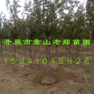 王族海棠图片