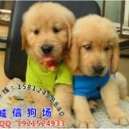 广州哪里有卖金毛寻回犬图片