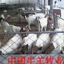 供应山羊养殖场_纯种波尔山羊_改良山羊_长势快_繁殖多_好饲养