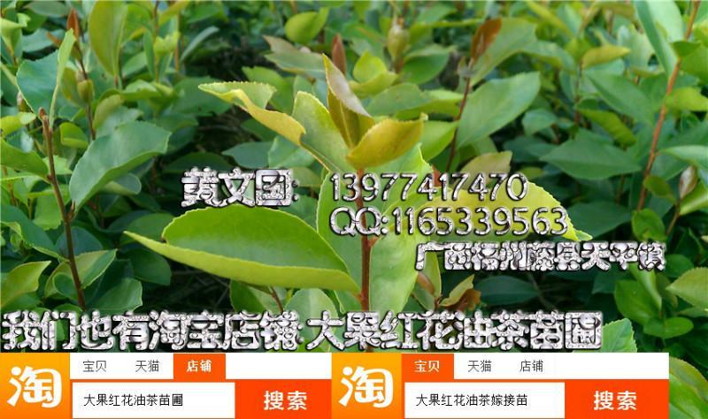 供应软枝油茶实生苗14,软枝油茶实生苗