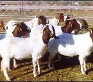 赤峰波尔山羊图片
