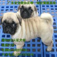 广州哪里有卖纯种巴哥幼犬图片