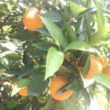 供应秭归脐橙/纽荷尔脐橙/长虹脐橙