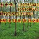 8公分垂柳3.3米定杆裸根价格图片