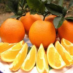 供应湖北夏橙