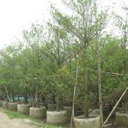 海南杜英袋苗图片