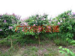 供应大叶紫薇小苗价格,大叶紫薇小苗价钱,大叶紫薇小苗报价。