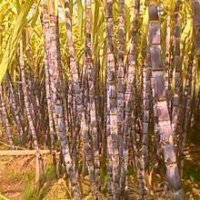 供应配车黑皮甘蔗    黑皮甘蔗批发商  黑皮甘蔗种苗
