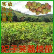 白糖罂荔枝苗图片