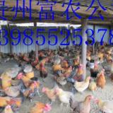 薄利直销供应本地土鸡,商品土鸡,140日龄土鸡价格,