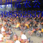 供应凯里土鸡多少钱,凯里土鸡养殖,凯里铁脚麻鸡苗,