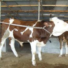 供应牲畜交易集市