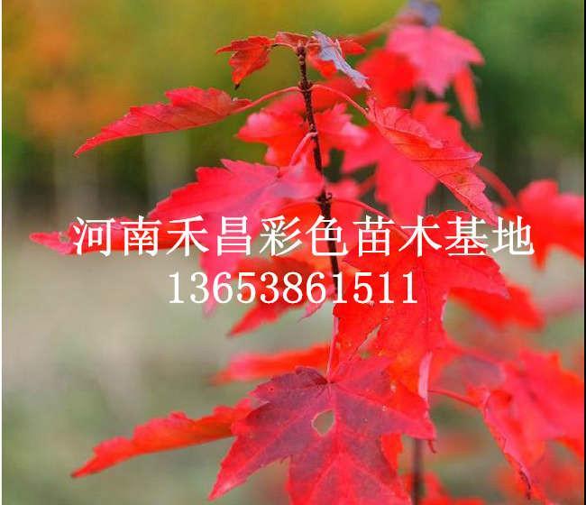绿化美国红枫种子供应商_北京美国红枫种子供应商