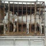 供应甘肃奶山羊—甘肃奶山羊养殖场—甘肃奶山羊价格
