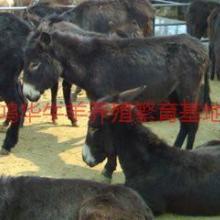 供应改良肉驴价格德州驴养殖三粉驴养殖场批发