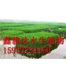供应许昌芦苇种植,厂家种植睡莲,种植荷花,种植香蒲,种植水葱,千屈菜种植,种植各种水生植物