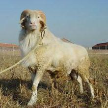 供应小尾寒羊养殖场批发