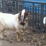 广西波尔山羊能长多少斤图片