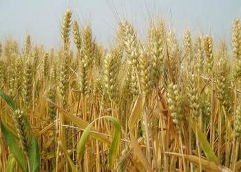 小麦供应消息:中国惠农网批发价不到2块图片