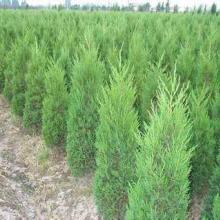 供应山东侧柏苗种植基地,园林美化专用绿化苗木低价出售批发