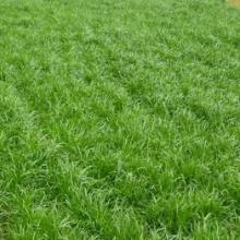 石家庄厂家经销黑麦草种芽率高成坪快价格优惠/黑麦草种厂家批发批发