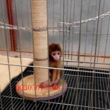 供应哪里有小猴子卖的