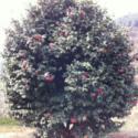 花仙子茶花树供应图片