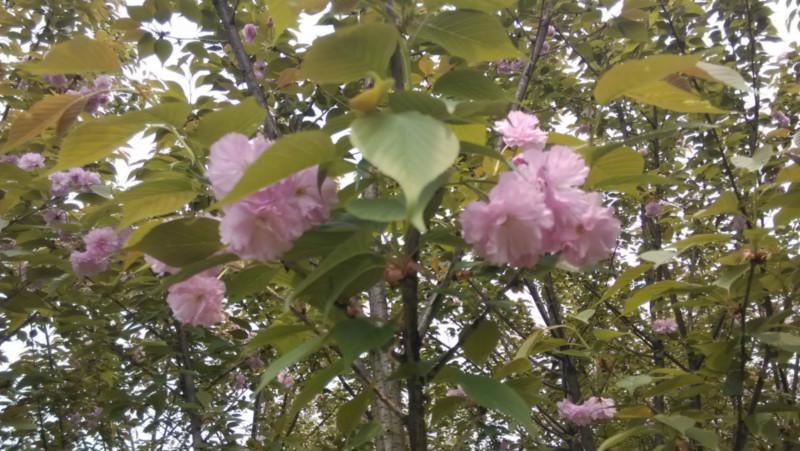 供应四川樱花樱花节