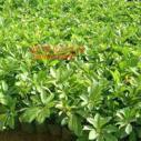 福建地被苗种植基地,福建地被苗联系电话,福建地被苗最大种植基地