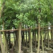 贵州香樟量大从优图片