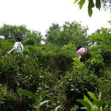 供应象园茶叶
