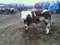 供应西门塔尔牛的价格批发