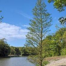 供应苗木销售产品:水杉