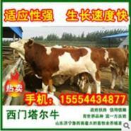 四川肉牛价格适合养殖鲁西黄牛犊吗图片