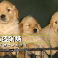 广州金毛犬价格广州金毛寻回犬图片