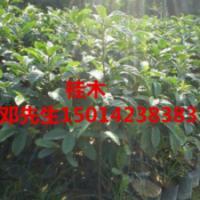 供应桂木市场优惠价,广州市桂木批量出售,桂木优惠价,桂木平价出售。