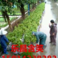 供应广东30公分高乐昌含笑小苗优惠价格,30公分高乐昌含笑种苗便宜价